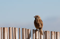 House Sparrow. A telephoto of a sparrow at early morning at Agamon ahula, israel Royalty Free Stock Photos