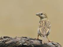 House sparrow. Stock Photos