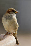 House Sparrow Stock Photography