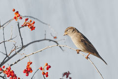 House sparrow. A house sparrow pearched on a limb with red berries stock photo