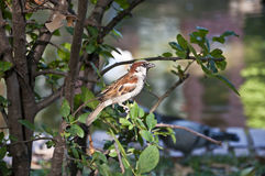 House sparrow Stock Images
