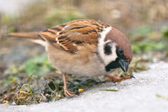 House sparrow. Sitting on the snow Stock Images