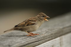 House Sparrow. An adult female House Sparrow calling on a railing royalty free stock image