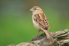 House sparrow. The house sparrow female sitting on the wood Royalty Free Stock Images