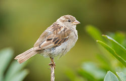 House Sparrow. On a twig Stock Photography