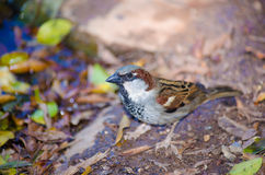 House sparrow. A closeup shot of a male house sparrow Stock Images
