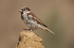 House sparrow. The House Sparrow is strongly associated with human habitations Royalty Free Stock Photo