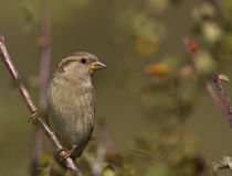 House Sparrow. Is perching on a tree branch stock image