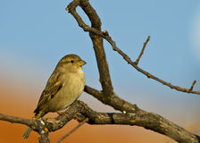 House Sparrow. Is perching on a tree trunk stock photography