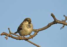 House Sparrow. Is perching on a tree branch Stock Images