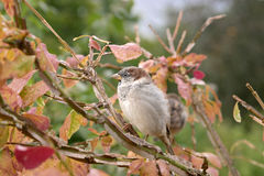 House Sparrow. Closeup of House Sparrow perched in tree with Autumnal foliage stock image