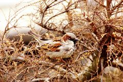 House sparrow. (passer domesticus) in spring at the bushes Royalty Free Stock Photo