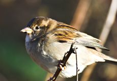 House sparrow. Passer domesticus Stock Image