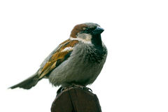 House Sparrow. (Passer domesticus) on white background royalty free stock images