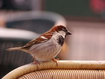 House sparrow. A frank sparrow at the back of a chair at a terrace Royalty Free Stock Image