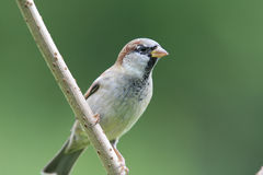 House sparrow. Royalty Free Stock Photos