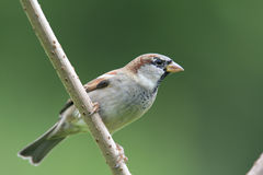 House sparrow. Stock Image