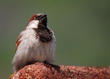 House Sparrow. Singing in Norway Stock Photos