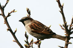House sparrow. On a tree branch Royalty Free Stock Image