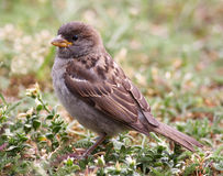 House sparrow. Close up of a house sparrow in a house garden Stock Photos