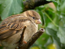 House sparrow. A female house sparrow enjoying the view royalty free stock image