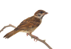 House Sparrow. Against isolated on a white background Stock Photography
