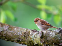 House sparrow and apple tree Stock Photo