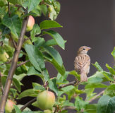 House Sparrow with apples Royalty Free Stock Images