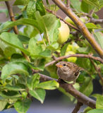 House Sparrow with apples Stock Photo