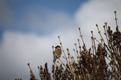 House sparrow atop the branches. Male House sparrow atop the branches in the early spring time Stock Image