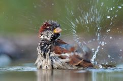 House sparrow washes himself with a lot of blobs. House sparrow bathing with a lot of splashes stock images