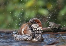 House sparrow washes himself with a lot of droplets stock image