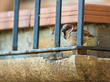 House Sparrow behind bars Stock Image