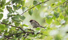 House Sparrow in Birch Tree Royalty Free Stock Photos