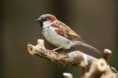 House sparrow bird. Stock Photography