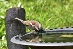 House sparrow. In a bird bath Royalty Free Stock Photography