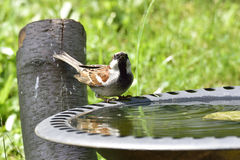 House sparrow. In a bird bath Stock Photos