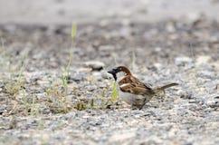 House Sparrow bird in gravel parking lot in Monroe, Walton County, GA. House Sparrow songbird in Monroe, Walton County, GA. Along with two other introduced Royalty Free Stock Image