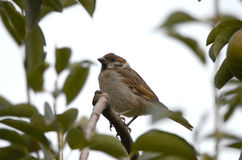 House sparrow bird Royalty Free Stock Photos