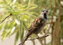 House sparrow bird Stock Images