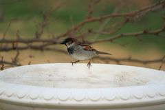 House Sparrow On Birdbath Royalty Free Stock Photos