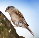 House sparrow and blue sky Stock Photography