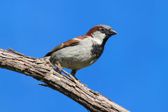 House Sparrow With Blue Sky Stock Image