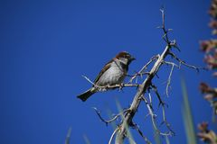 House sparrow on branch against blue sky - Passer domesticus. Small bird, a female house sparrow, flutters its wings on a bare branch in the desert at an Arizona stock photos