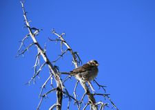 House sparrow on branch against blue sky - Passer domesticus. Small bird, a female house sparrow, sitting on a bare branch in the desert at an Arizona rest stop stock photo