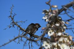 House sparrow on branch against blue sky - Passer domesticus. Small bird, a male house sparrow, flutters its wings on a bare branch in the desert at an Arizona stock image