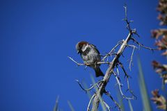 House sparrow on branch against blue sky - Passer domesticus. Small bird, a male house sparrow, flutters its wings on a bare branch in the desert at an Arizona stock photography