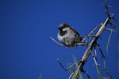 House sparrow on branch against blue sky - Passer domesticus. Small bird, a male house sparrow, flutters its wings on a bare branch in the desert at an Arizona royalty free stock images