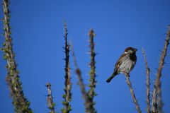 House sparrow on branch against blue sky - Passer domesticus. Small bird, a male house sparrow, sitting on a bare branch in the desert at an Arizona rest stop royalty free stock photos