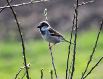 House sparrow on a branch of a bush. The male domestic sparrow sits on a branch of a bush. Sparrow is the most common kinds of sparrows Royalty Free Stock Photo